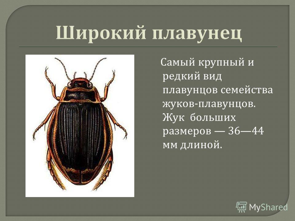 Самый крупный и редкий вид плавунцов семейства жуков - плавунцов. Жук больших размеров 3644 мм длиной.