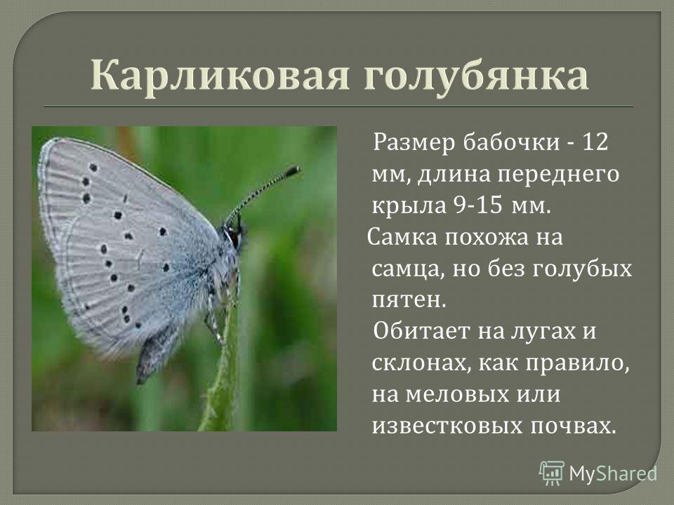 Размер бабочки - 12 мм, длина переднего крыла 9-15 мм. Самка похожа на самца, но без голубых пятен. Обитает на лугах и склонах, как правило, на меловых или известковых почвах.