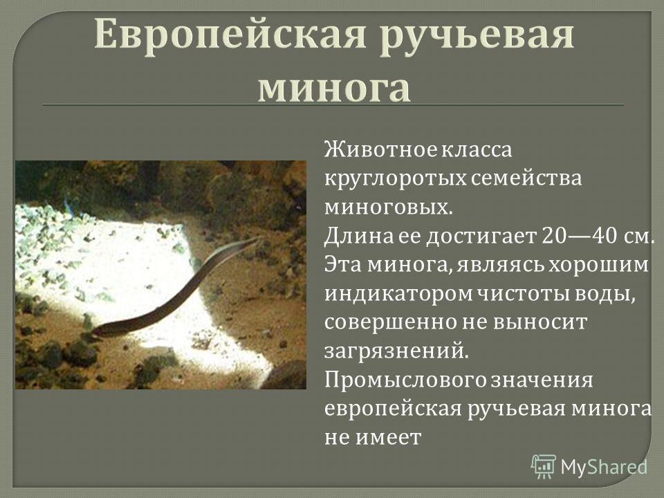 Животное класса круглоротых семейства миноговых. Длина ее достигает 2040 см. Эта минога, являясь хорошим индикатором чистоты воды, совершенно не выносит загрязнений. Промыслового значения европейская ручьевая минога не имеет