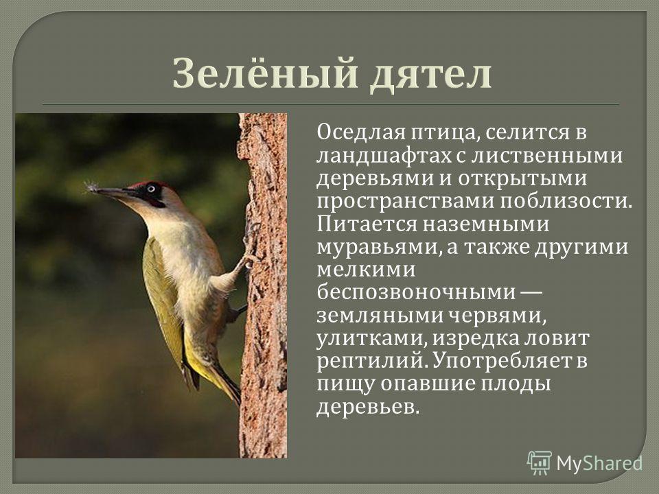 Оседлая птица, селится в ландшафтах с лиственными деревьями и открытыми пространствами поблизости. Питается наземными муравьями, а также другими мелкими беспозвоночными земляными червями, улитками, изредка ловит рептилий. Употребляет в пищу опавшие п