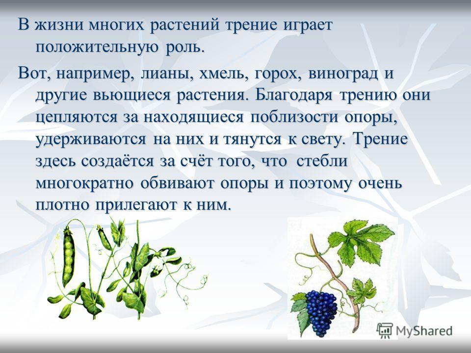 В жизни многих растений трение играет положительную роль. Вот, например, лианы, хмель, горох, виноград и другие вьющиеся растения. Благодаря трению они цепляются за находящиеся поблизости опоры, удерживаются на них и тянутся к свету. Трение здесь соз