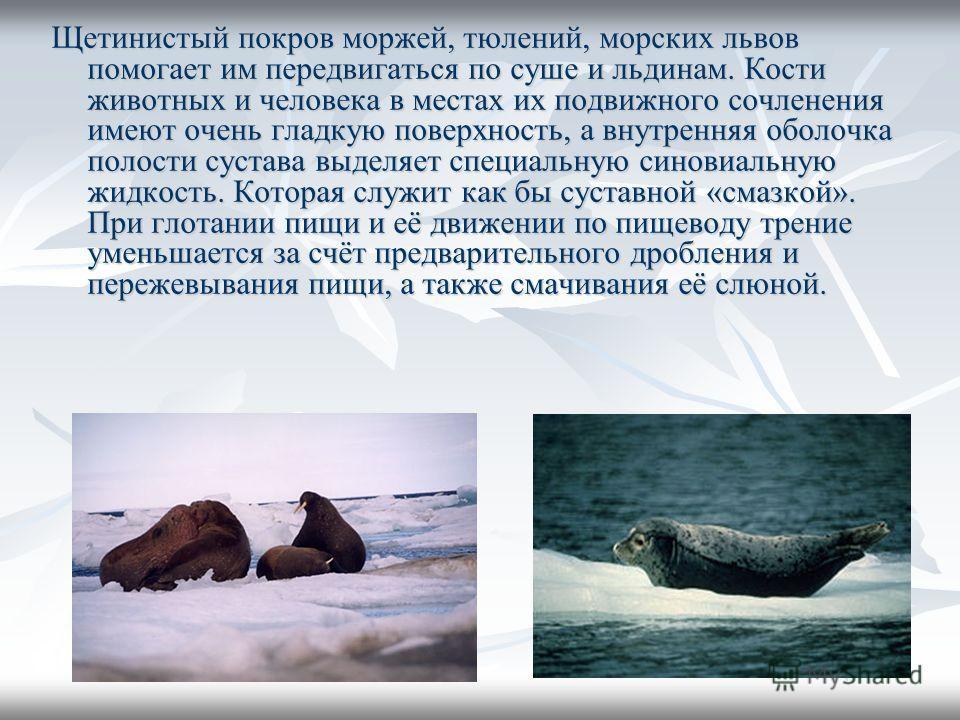 Щетинистый покров моржей, тюлений, морских львов помогает им передвигаться по суше и льдинам. Кости животных и человека в местах их подвижного сочленения имеют очень гладкую поверхность, а внутренняя оболочка полости сустава выделяет специальную сино