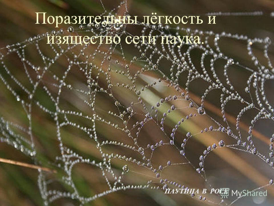 Поразительны лёгкость и изящество сети паука. ПАУТИНА В РОСЕ