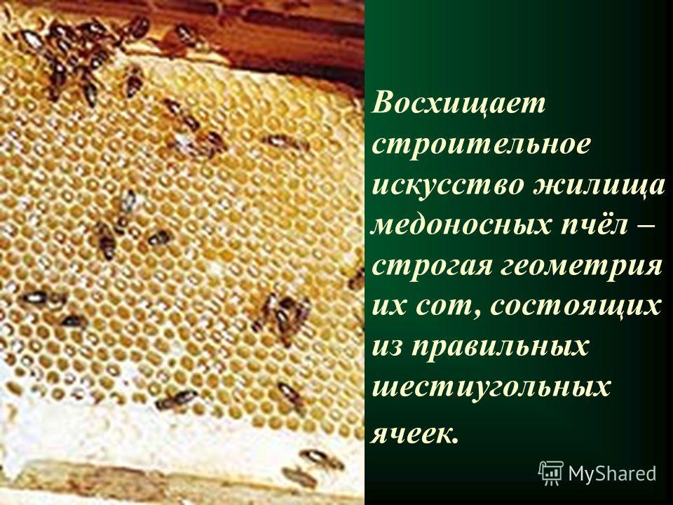Восхищает строительное искусство жилища медоносных пчёл – строгая геометрия их сот, состоящих из правильных шестиугольных ячеек.