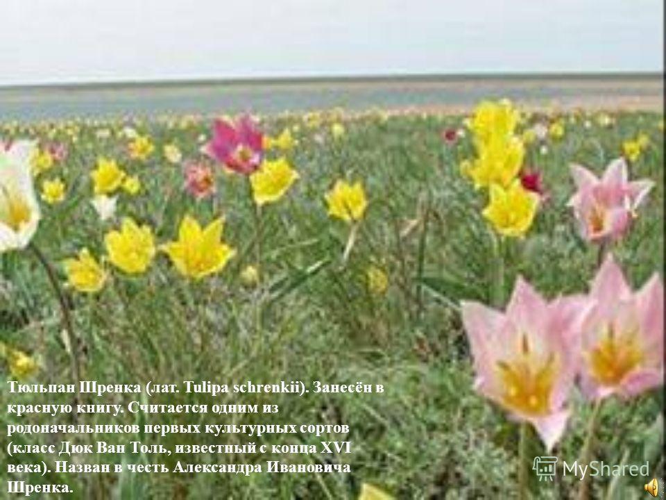 Тюльпан Шренка (лат. Tulipa schrenkii). Занесён в красную книгу. Считается одним из родоначальников первых культурных сортов (класс Дюк Ван Толь, известный с конца XVI века). Назван в честь Александра Ивановича Шренка.