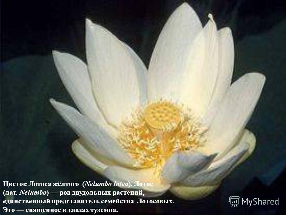 Цветок Лотоса жёлтого (Nelumbo lutea). Лотос (лат. Nelumbo) род двудольных растений, единственный представитель семейства Лотосовых. Это священное в глазах туземца.