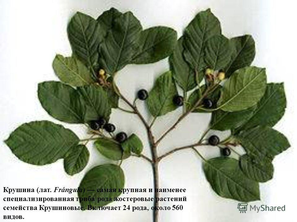 Крушина (лат. Frángula) самая крупная и наименее специализированная триба рода жостеровые растений семейства Крушиновые. Включает 24 рода, около 560 видов.
