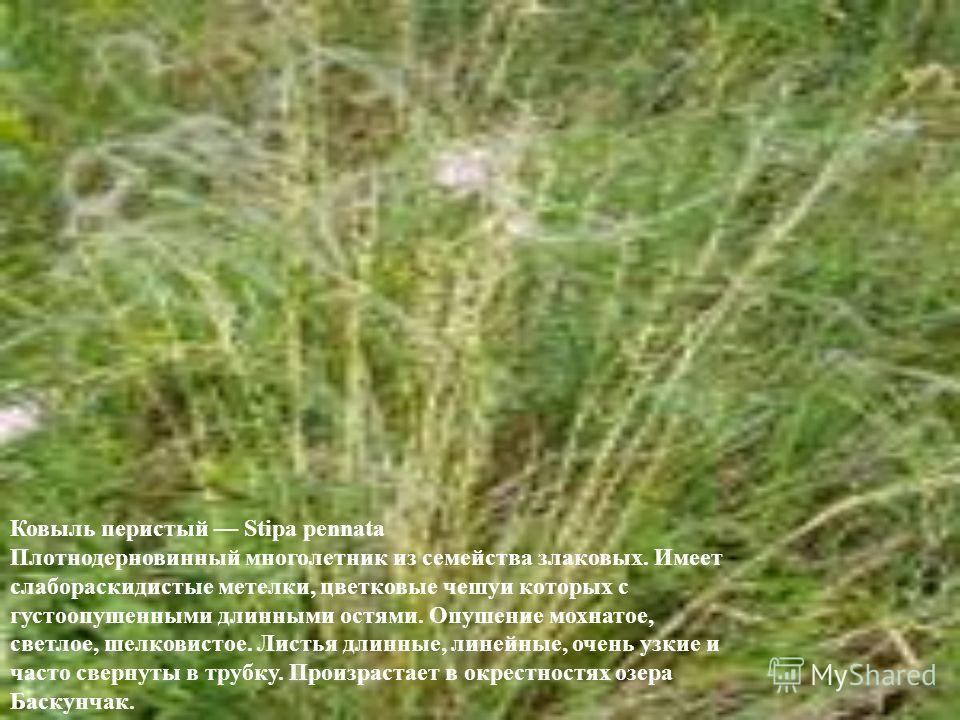 Ковыль перистый Stipa pennata Плотнодерновинный многолетник из семейства злаковых. Имеет слабораскидистые метелки, цветковые чешуи которых с густоопушенными длинными остями. Опушение мохнатое, светлое, шелковистое. Листья длинные, линейные, очень узк