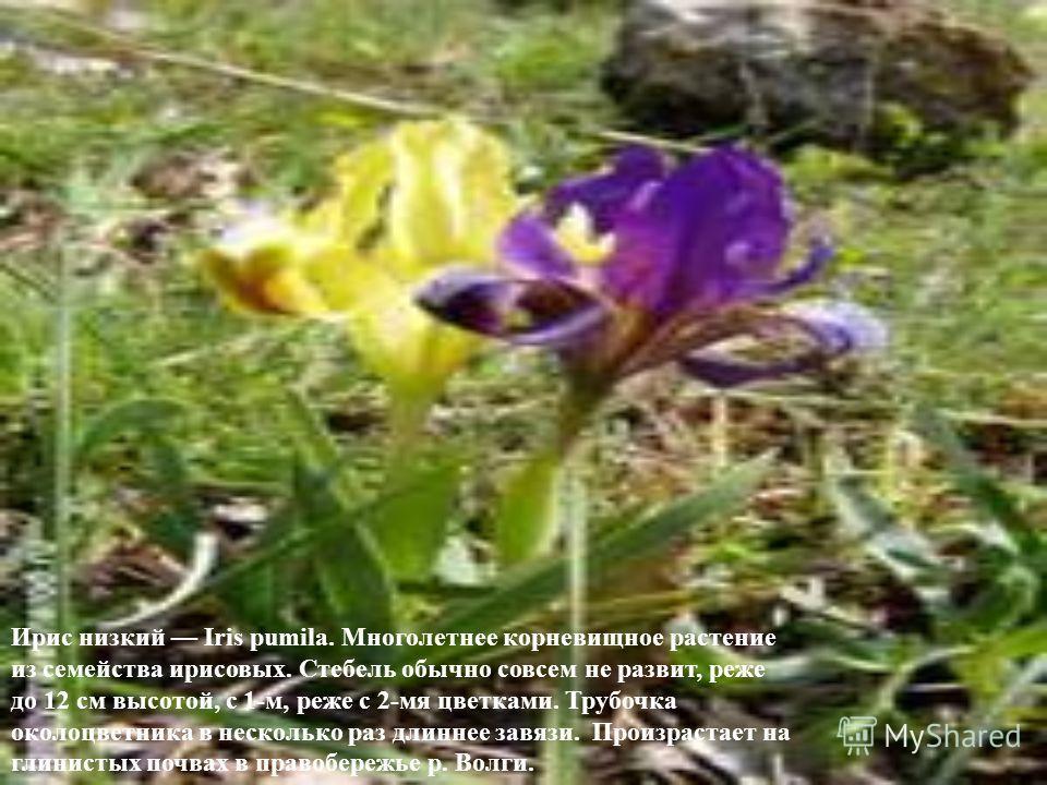 Ирис низкий Iris pumila. Многолетнее корневищное растение из семейства ирисовых. Стебель обычно совсем не развит, реже до 12 см высотой, с 1-м, реже с 2-мя цветками. Трубочка околоцветника в несколько раз длиннее завязи. Произрастает на глинистых поч