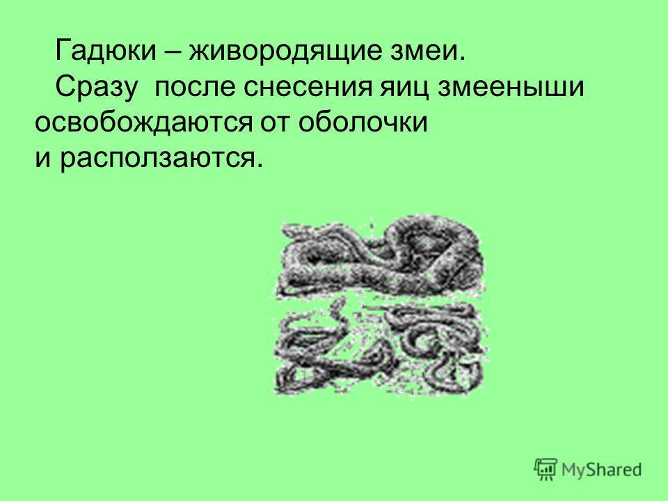 Гадюки – живородящие змеи. Сразу после снесения яиц змееныши освобождаются от оболочки и расползаются.