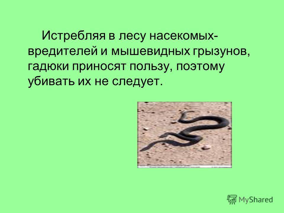 Истребляя в лесу насекомых- вредителей и мышевидных грызунов, гадюки приносят пользу, поэтому убивать их не следует.