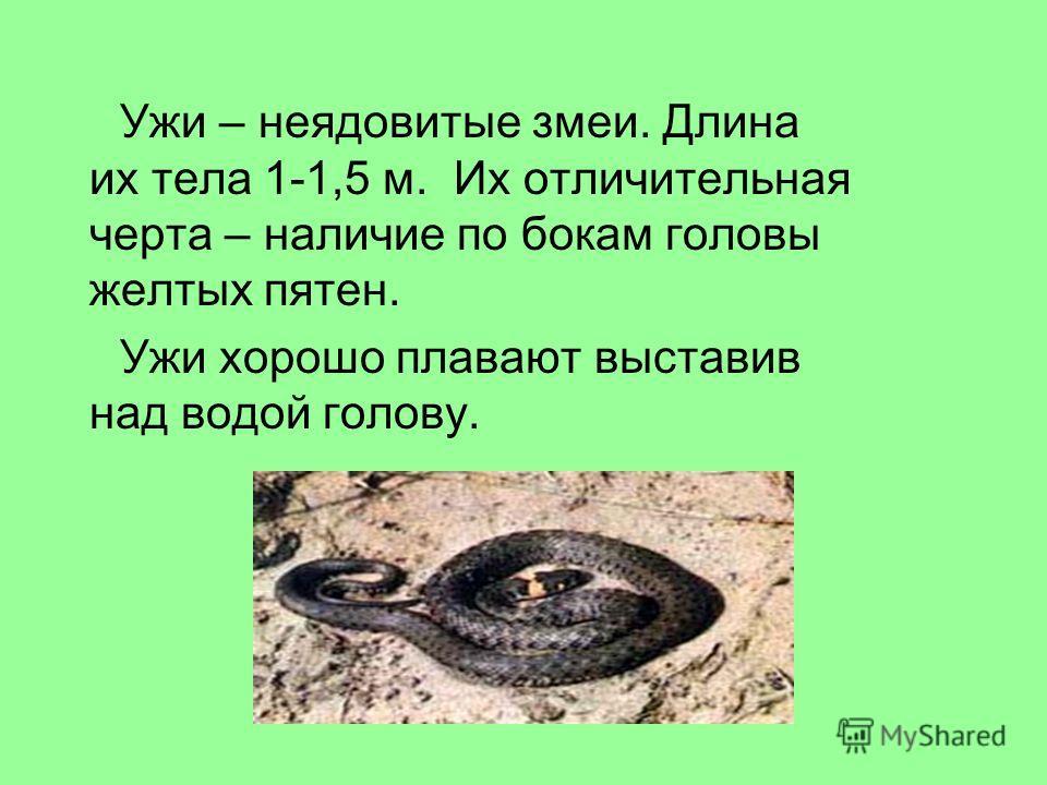 Ужи – неядовитые змеи. Длина их тела 1-1,5 м. Их отличительная черта – наличие по бокам головы желтых пятен. Ужи хорошо плавают выставив над водой голову.