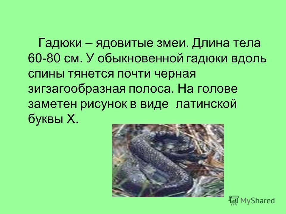 Гадюки – ядовитые змеи. Длина тела 60-80 см. У обыкновенной гадюки вдоль спины тянется почти черная зигзагообразная полоса. На голове заметен рисунок в виде латинской буквы Х.