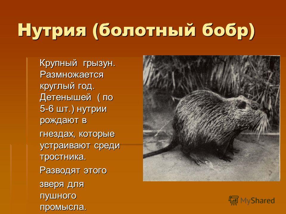 Нутрия (болотный бобр) Крупный грызун. Размножается круглый год. Детенышей ( по 5-6 шт.) нутрии рождают в Крупный грызун. Размножается круглый год. Детенышей ( по 5-6 шт.) нутрии рождают в гнездах, которые устраивают среди тростника. гнездах, которые