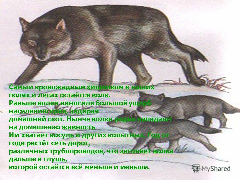 Самым кровожадным хищником в наших полях и лесах остаётся волк. Раньше волки наносили большой ущерб населению края, задирая домашний скот. Нынче волки редко нападают на домашнюю живность Им хватает косуль и других копытных. Год от года растёт сеть до