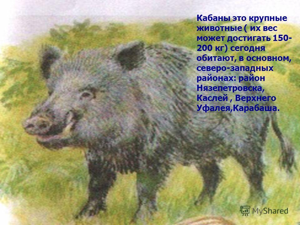 Кабаны это крупные животные ( их вес может достигать 150- 200 кг) сегодня обитают, в основном, северо-западных районах: район Нязепетровска, Каслей, Верхнего Уфалея,Карабаша.