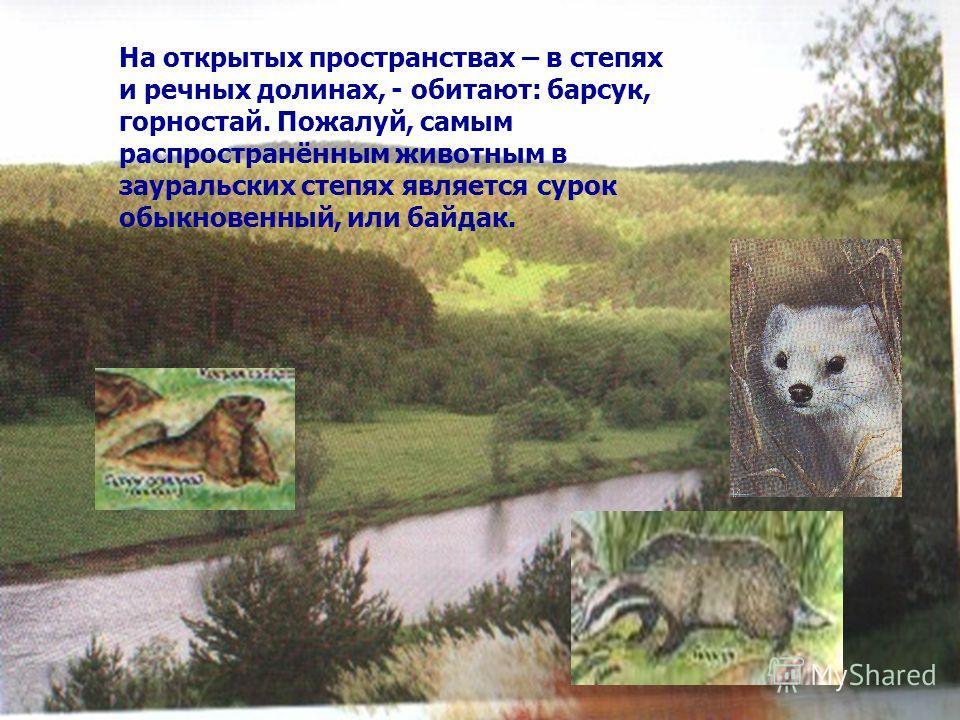 На открытых пространствах – в степях и речных долинах, - обитают: барсук, горностай. Пожалуй, самым распространённым животным в зауральских степях является сурок обыкновенный, или байдак.
