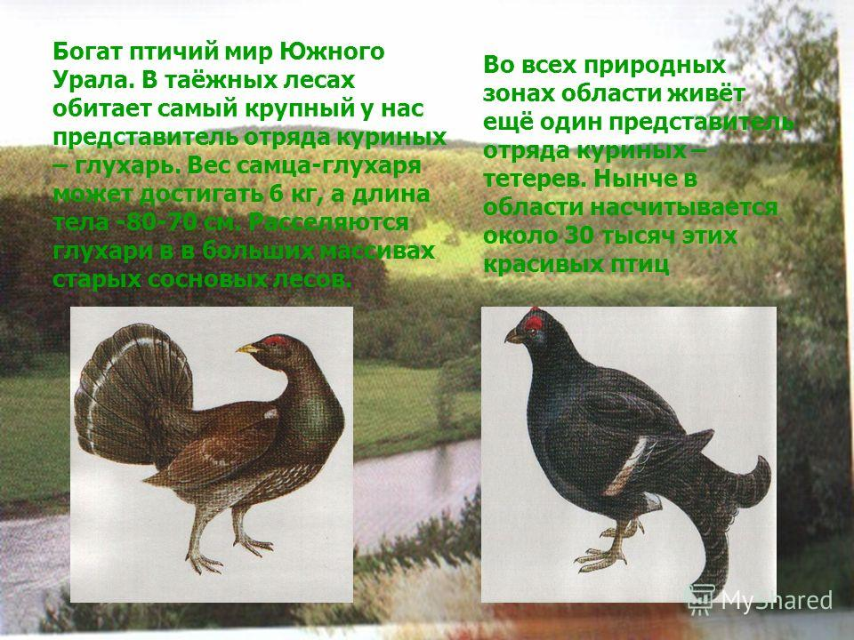 Богат птичий мир Южного Урала. В таёжных лесах обитает самый крупный у нас представитель отряда куриных – глухарь. Вес самца-глухаря может достигать 6 кг, а длина тела -80-70 см. Расселяются глухари в в больших массивах старых сосновых лесов. Во всех