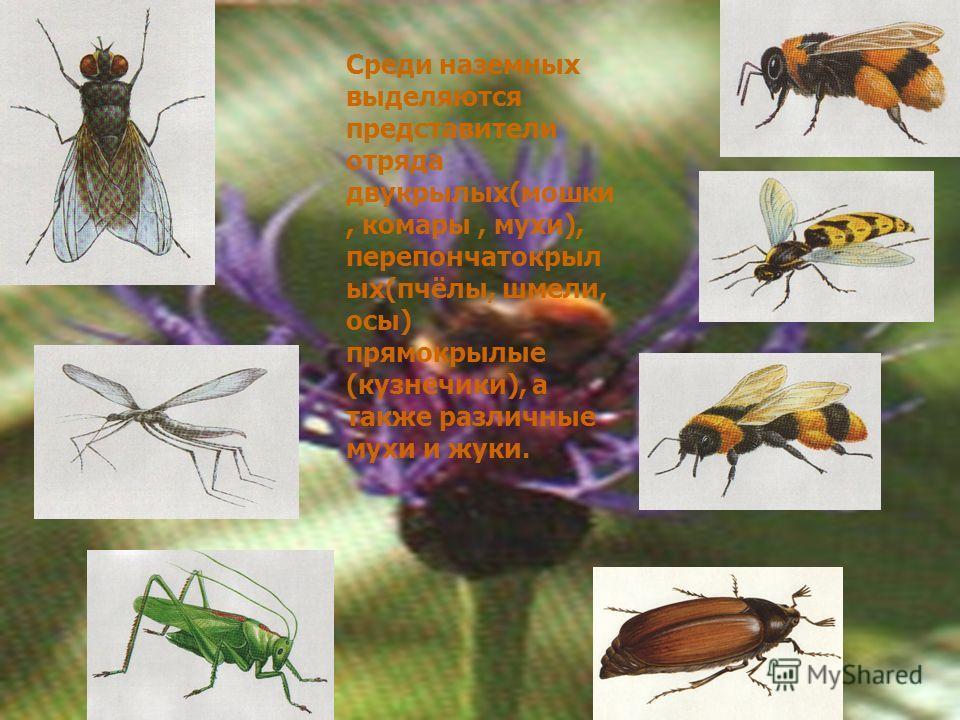 Среди наземных выделяются представители отряда двукрылых(мошки, комары, мухи), перепончатокрыл ых(пчёлы, шмели, осы) прямокрылые (кузнечики), а также различные мухи и жуки.