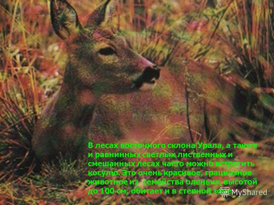 В лесах восточного склона Урала, а также и равнинных светлых лиственных и смешанных лесах часто можно встретить косулю. Это очень красивое, грациозное животное из семейства оленьих, высотой до 100 см, обитает и в степной зоне.