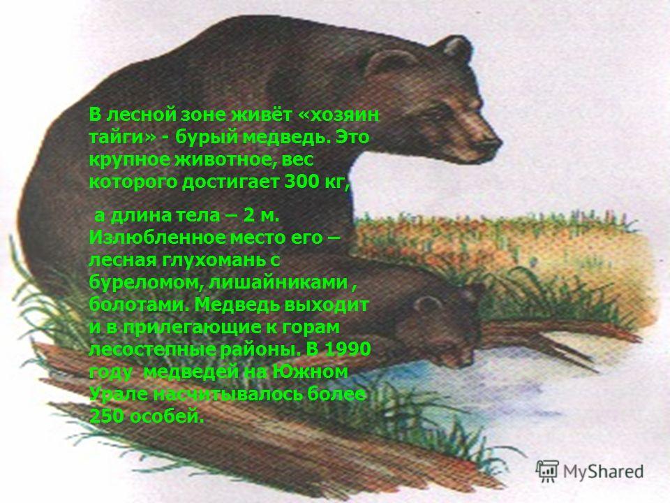 В лесной зоне живёт «хозяин тайги» - бурый медведь. Это крупное животное, вес которого достигает 300 кг, а длина тела – 2 м. Излюбленное место его – лесная глухомань с буреломом, лишайниками, болотами. Медведь выходит и в прилегающие к горам лесостеп