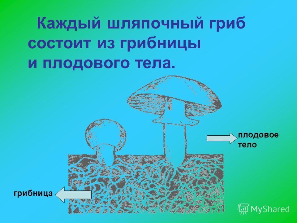 Каждый шляпочный гриб состоит из грибницы и плодового тела. грибница плодовое тело