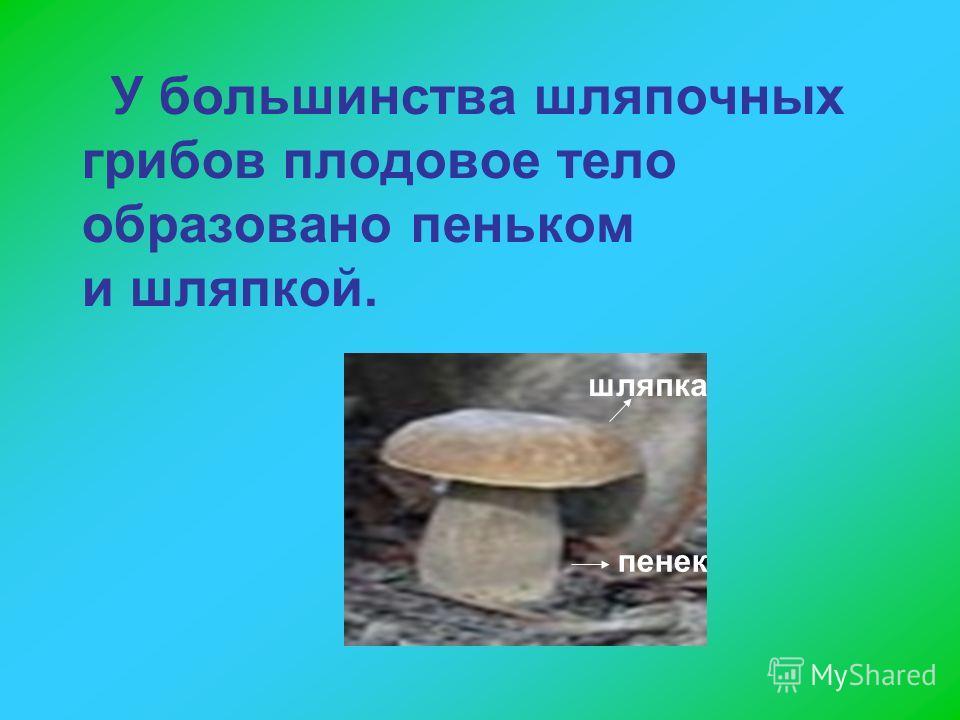 У большинства шляпочных грибов плодовое тело образовано пеньком и шляпкой. пенек шляпка