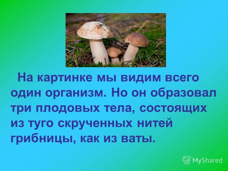 На картинке мы видим всего один организм. Но он образовал три плодовых тела, состоящих из туго скрученных нитей грибницы, как из ваты.