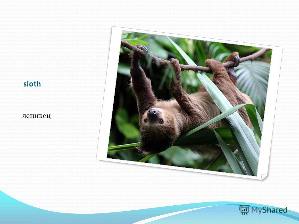 sloth ленивец