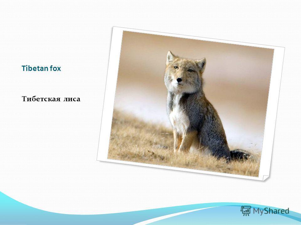 Tibetan fox Тибетская лиса