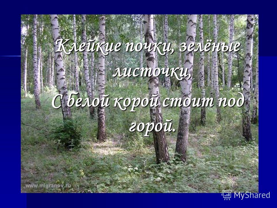 Клейкие почки, зелёные листочки, С белой корой стоит под горой.