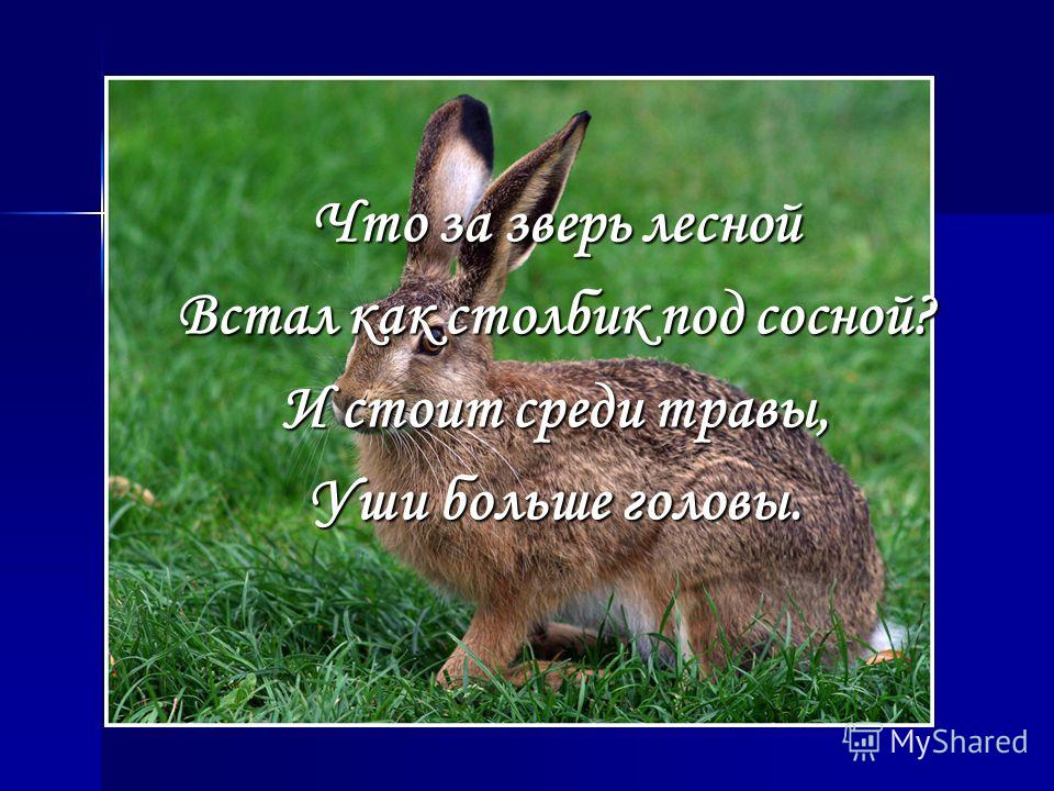 Что за зверь лесной Встал как столбик под сосной? И стоит среди травы, Уши больше головы.