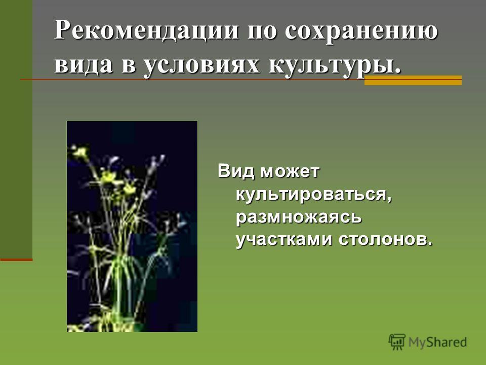 Рекомендации по сохранению вида в условиях культуры. Вид может культироваться, размножаясь участками столонов.