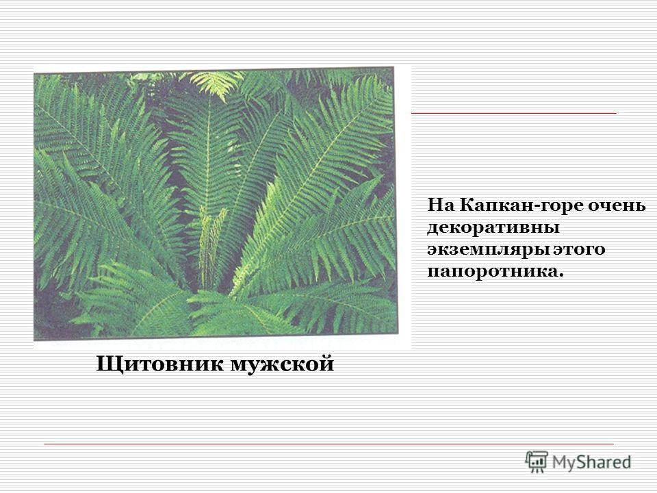 Щитовник мужской На Капкан-горе очень декоративны экземпляры этого папоротника.