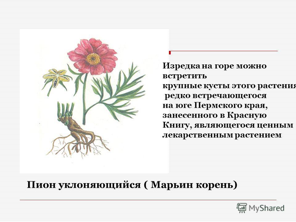 Пион уклоняющийся ( Марьин корень) Изредка на горе можно встретить крупные кусты этого растения, редко встречающегося на юге Пермского края, занесенного в Красную Книгу, являющегося ценным лекарственным растением