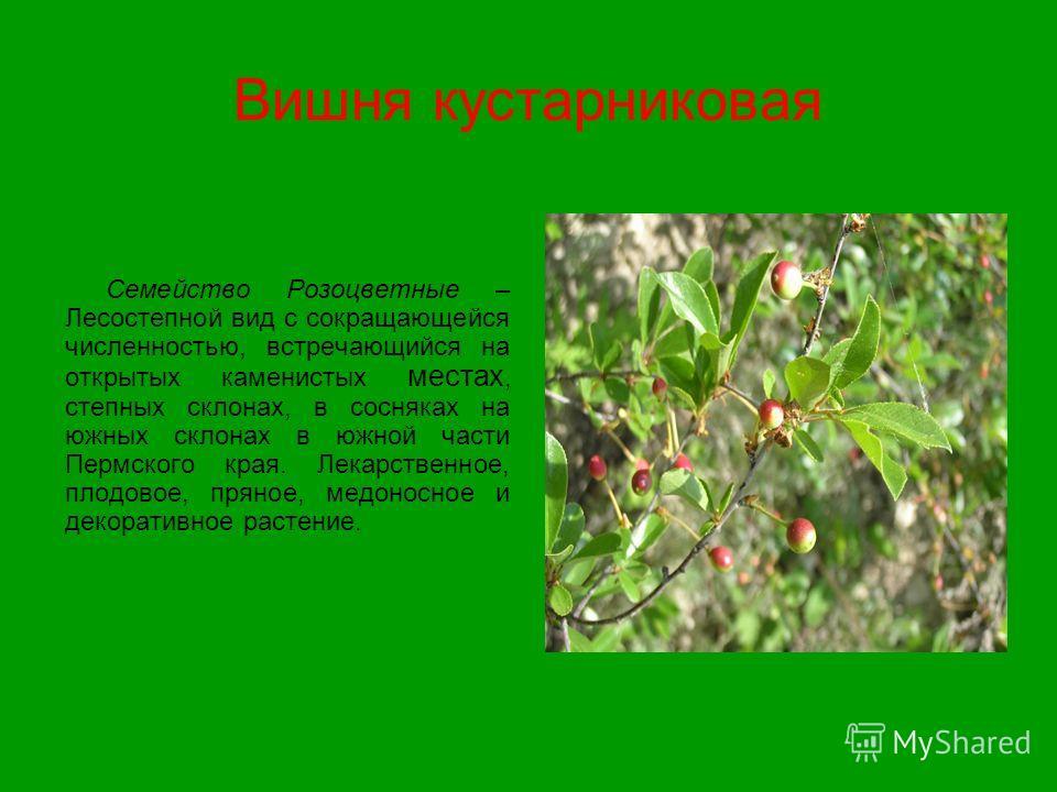 Вишня кустарниковая Семейство Розоцветные – Лесостепной вид с сокращающейся численностью, встречающийся на открытых каменистых местах, степных склонах, в сосняках на южных склонах в южной части Пермского края. Лекарственное, плодовое, пряное, медонос