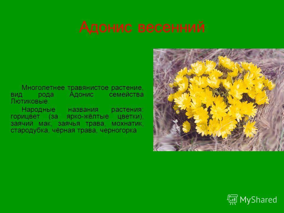 Адонис весенний Многолетнее травянистое растение, вид рода Адонис семейства Лютиковые. Народные названия растения: горицвет (за ярко-жёлтые цветки), заячий мак, заячья трава, мохнатик, стародубка, чёрная трава, черногорка