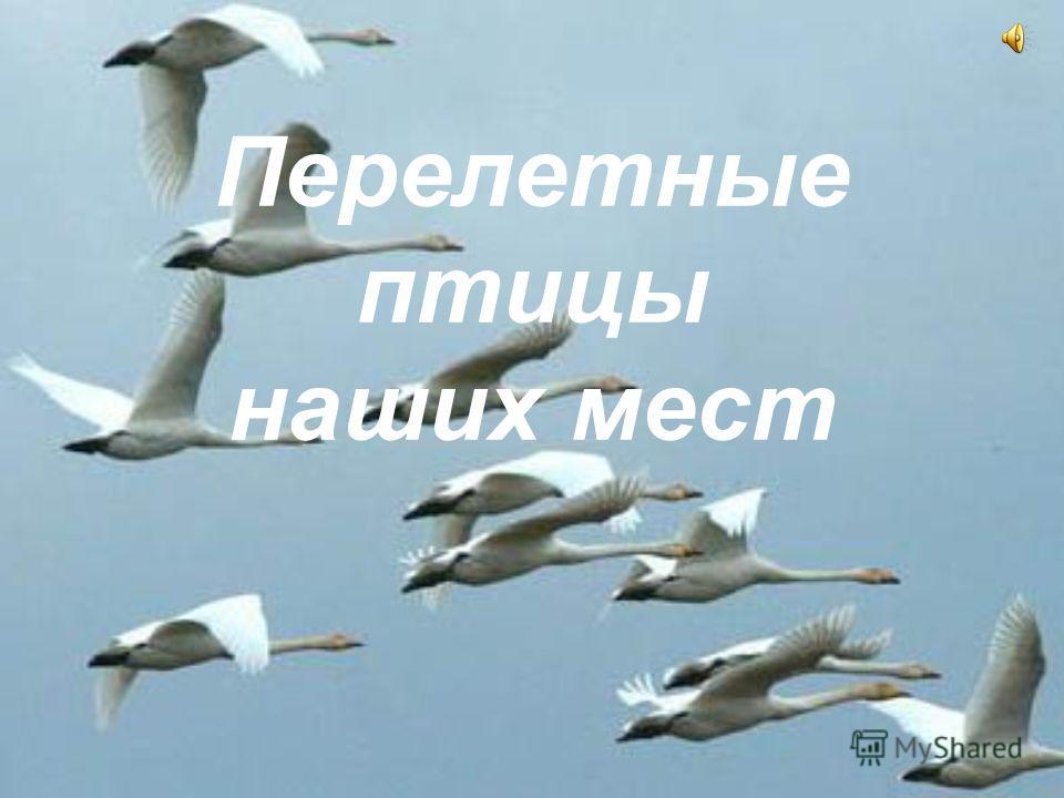 Перелетные птицы наших мест