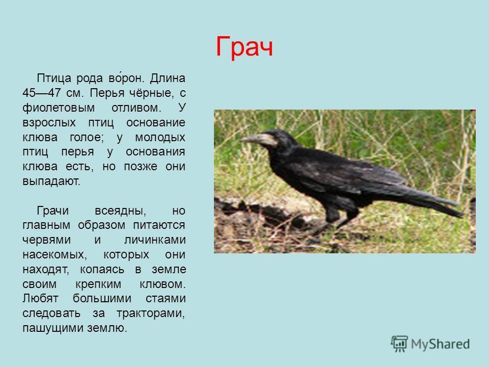 Грач Птица рода во́рон. Длина 4547 см. Перья чёрные, с фиолетовым отливом. У взрослых птиц основание клюва голое; у молодых птиц перья у основания клюва есть, но позже они выпадают. Грачи всеядны, но главным образом питаются червями и личинками насек