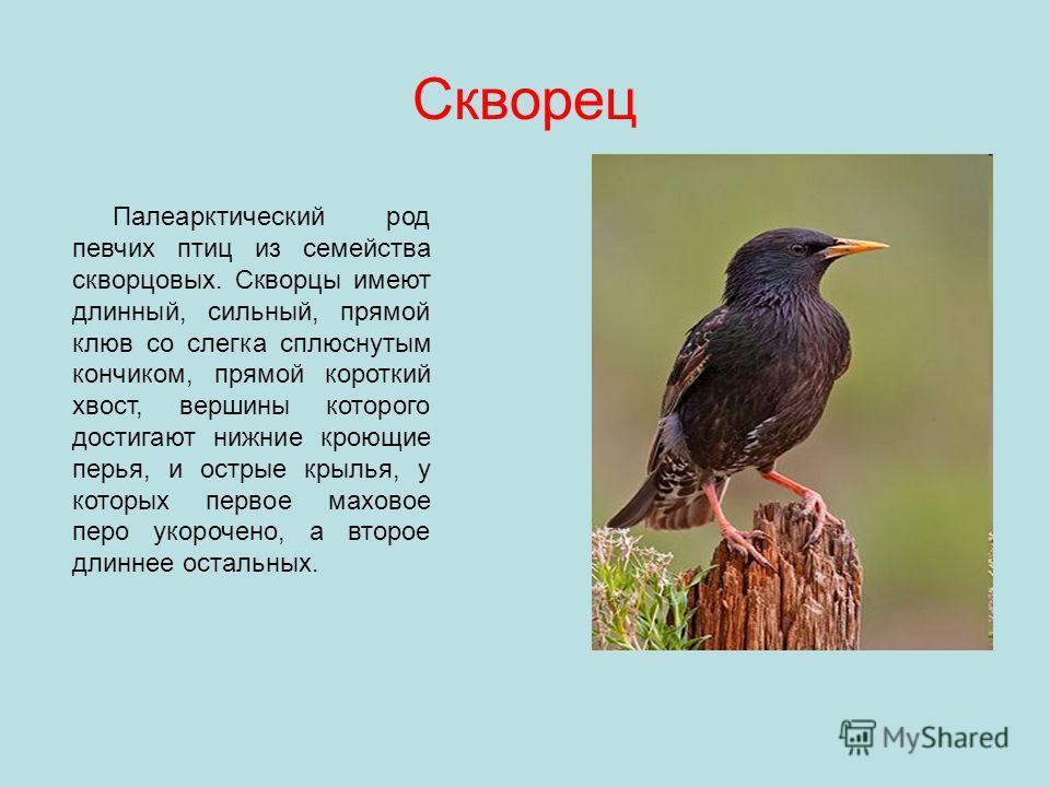 Скворец Палеарктический род певчих птиц из семейства скворцовых. Скворцы имеют длинный, сильный, прямой клюв со слегка сплюснутым кончиком, прямой короткий хвост, вершины которого достигают нижние кроющие перья, и острые крылья, у которых первое махо