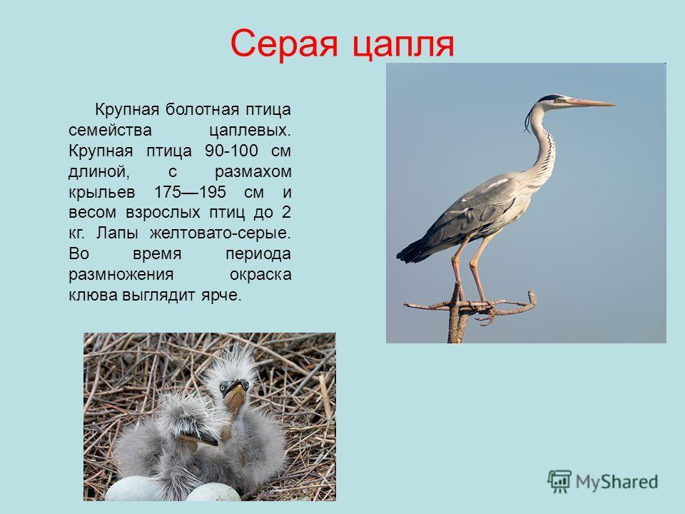 Серая цапля Крупная болотная птица семейства цаплевых. Крупная птица 90-100 см длиной, с размахом крыльев 175195 см и весом взрослых птиц до 2 кг. Лапы желтовато-серые. Во время периода размножения окраска клюва выглядит ярче.
