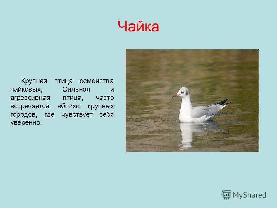 Чайка Крупная птица семейства чайковых, Сильная и агрессивная птица, часто встречается вблизи крупных городов, где чувствует себя уверенно.