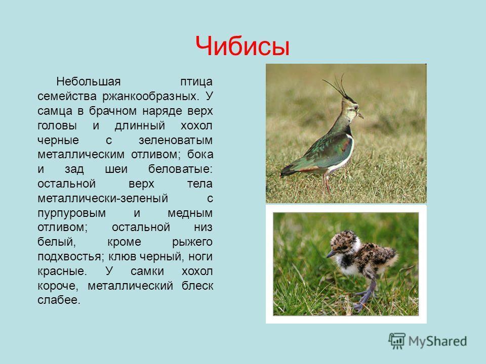 Чибисы Небольшая птица семейства ржанкообразных. У самца в брачном наряде верх головы и длинный хохол черные с зеленоватым металлическим отливом; бока и зад шеи беловатые: остальной верх тела металлически-зеленый с пурпуровым и медным отливом; осталь