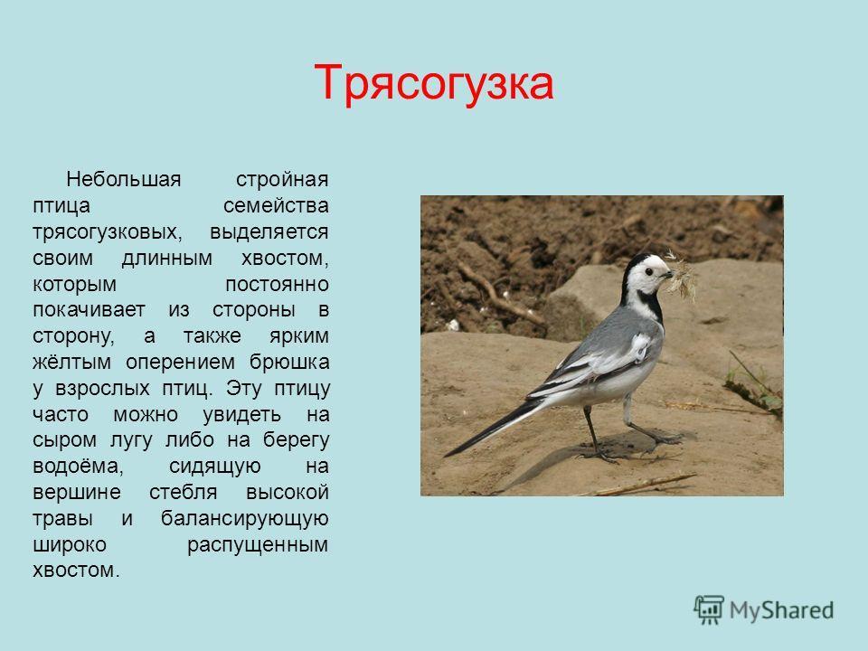 Трясогузка Небольшая стройная птица семейства трясогузковых, выделяется своим длинным хвостом, которым постоянно покачивает из стороны в сторону, а также ярким жёлтым оперением брюшка у взрослых птиц. Эту птицу часто можно увидеть на сыром лугу либо