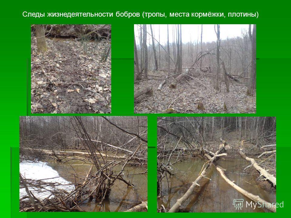 Следы жизнедеятельности бобров (тропы, места кормёжки, плотины)