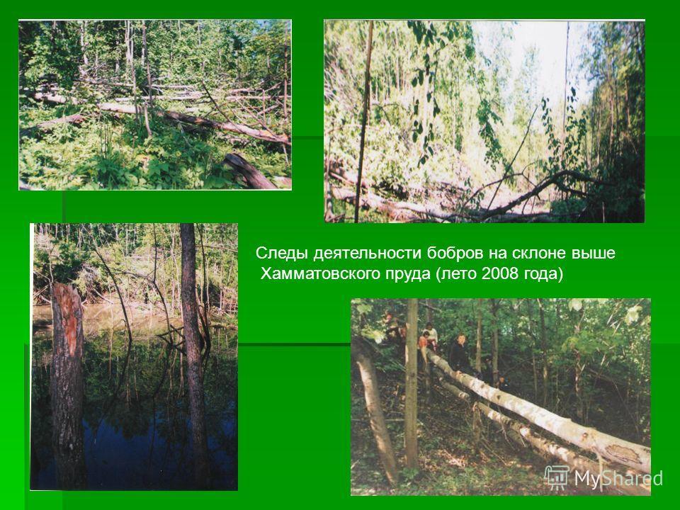 Следы деятельности бобров на склоне выше Хамматовского пруда (лето 2008 года)