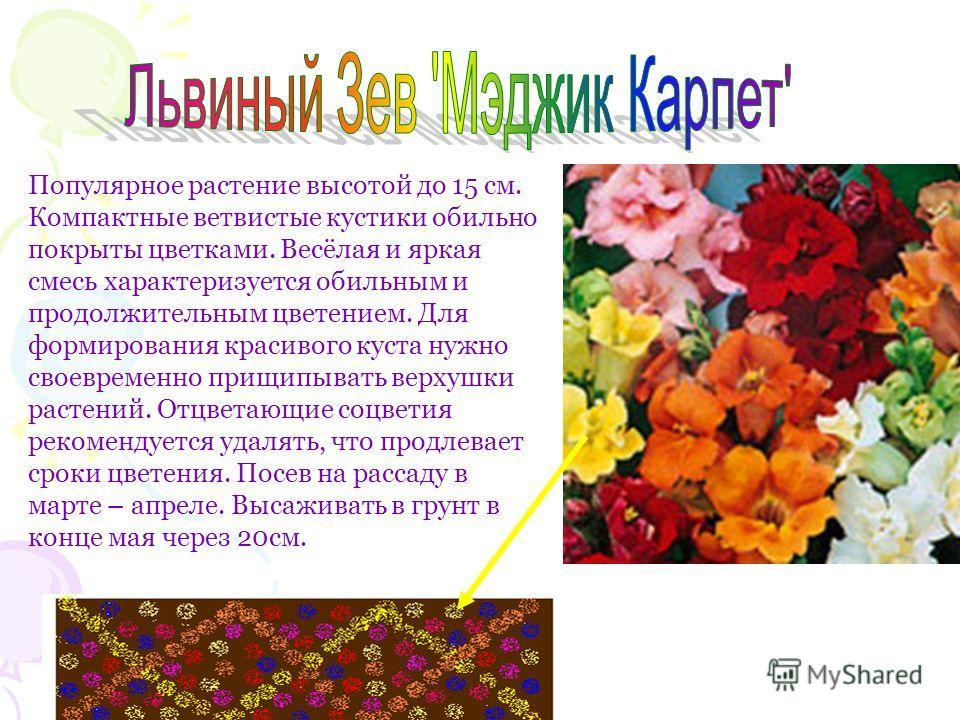 Популярное растение высотой до 15 см. Компактные ветвистые кустики обильно покрыты цветками. Весёлая и яркая смесь характеризуется обильным и продолжительным цветением. Для формирования красивого куста нужно своевременно прищипывать верхушки растений