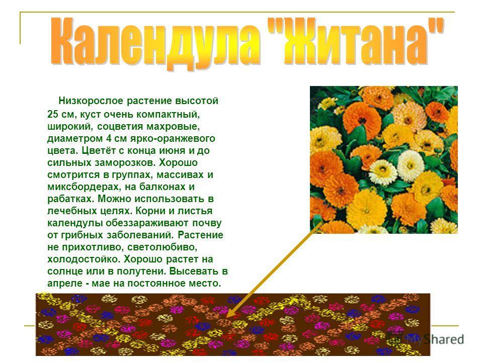 Низкорослое растение высотой 25 см, куст очень компактный, широкий, соцветия махровые, диаметром 4 см ярко-оранжевого цвета. Цветёт с конца июня и до сильных заморозков. Хорошо смотрится в группах, массивах и миксбордерах, на балконах и рабатках. Мож