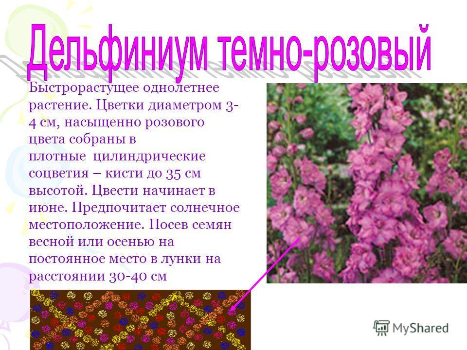 Быстрорастущее однолетнее растение. Цветки диаметром 3- 4 см, насыщенно розового цвета собраны в плотные цилиндрические соцветия – кисти до 35 см высотой. Цвести начинает в июне. Предпочитает солнечное местоположение. Посев семян весной или осенью на