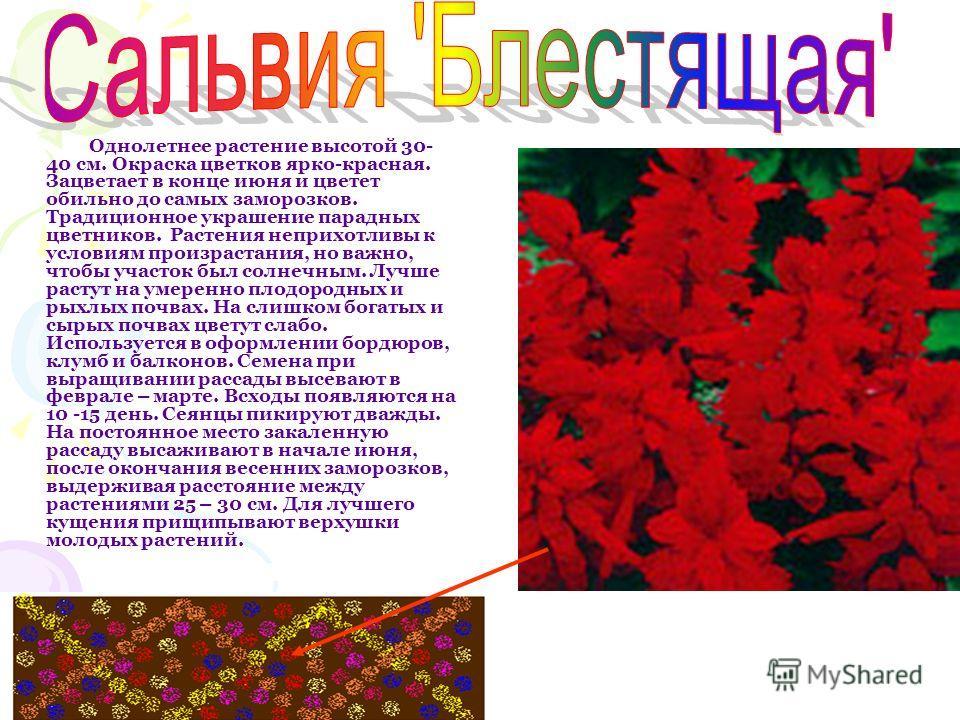 Однолетнее растение высотой 30- 40 см. Окраска цветков ярко-красная. Зацветает в конце июня и цветет обильно до самых заморозков. Традиционное украшение парадных цветников. Растения неприхотливы к условиям произрастания, но важно, чтобы участок был с